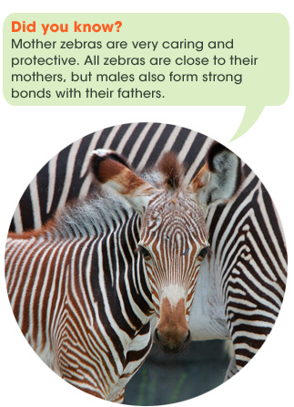 safari_facts_zebra