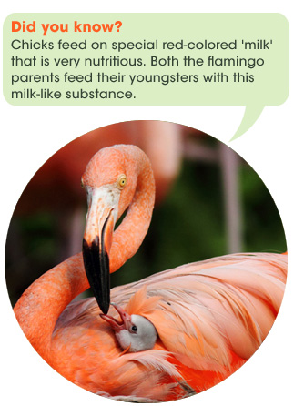 safari_facts_flamingo