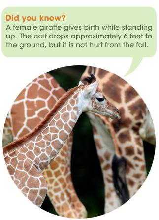 safari_facts_giraffe2