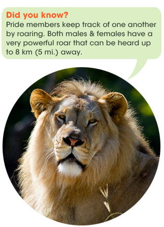 safari_facts_lion