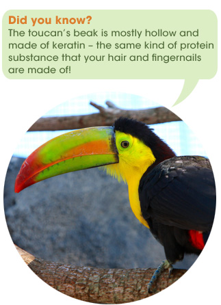 safari_facts_toucan